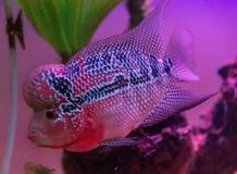 Schöne gute Farbe-Flowerhorn-Cichlidfische am Wasserbehälter mit blauem Hintergrund stockfoto