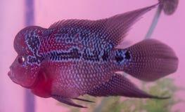 Schöne gute Farbe-Flowerhorn-Cichlidfische am Wasserbehälter mit blauem Hintergrund lizenzfreies stockbild
