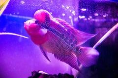 Schöne gute Farbe-Flowerhorn-Cichlidfische am Wasserbehälter mit blauem Hintergrund Lizenzfreie Stockbilder