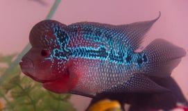 Schöne gute Farbe-Flowerhorn-Cichlidfische am Wasserbehälter mit blauem Hintergrund Stockbilder