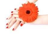 Schöne Hände mit roter Maniküre. Stockfotos