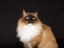 Schöne hübsche Ragdoll Katze auf schwarzem Hintergrund Stockfotografie