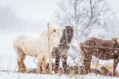 Schöne haarige Pferde, die den elektrischen Zaun in den schweren Schneefällen behing stehen Norwegischer Bauernhof im Winter Pfer Stockbild