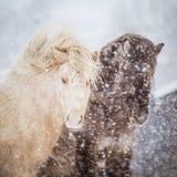 Schöne haarige Pferde, die den elektrischen Zaun in den schweren Schneefällen behing stehen Norwegischer Bauernhof im Winter Pfer Stockbilder