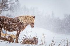 Schöne haarige Pferde, die den elektrischen Zaun in den schweren Schneefällen behing stehen Norwegischer Bauernhof im Winter Pfer Stockfotos