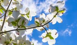 Schöne Hartriegelblüten erreichen in Richtung zu einem reizenden bewölkten Himmel des Frühjahres teils Stockfotografie