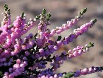 Schöne Heide in der Blüte Lizenzfreie Stockfotos