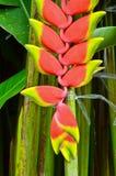 Schöne Heliconia-Blume Lizenzfreies Stockfoto