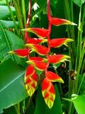 Schöne Heliconia Blume Lizenzfreies Stockbild