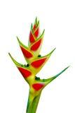Schöne Heliconia Blume, die in der klaren Farbe blüht Stockfoto