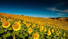Schöne helle gelbe Sonnenblumen Lizenzfreie Stockbilder