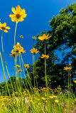 Schöne helle gelbe Wildflowers Lanceleaf Coresopsis in einer FI stockfotos