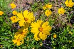 Schöne helle gelbe Wildflowers Lanceleaf Coresopsis in einer FI Stockfotografie