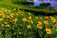 Schöne helle gelbe Wildflowers Lanceleaf Coresopsis in einer FI Lizenzfreie Stockbilder