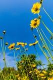 Schöne helle gelbe Wildflowers Lanceleaf Coresopsis in einer FI stockbild