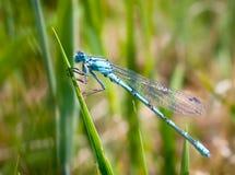 Schöne helle Libelle Stockfotografie