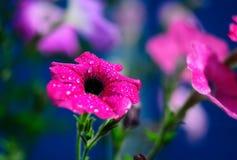 Schöne helle rosa Blume schoss nah oben auf blauem Hintergrund mit Tautropfen lizenzfreie stockfotos