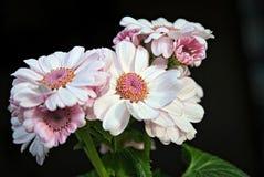 Schöne helle Rosa-Blumen Stockfoto