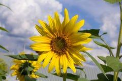 Schöne helle Sonnenblumennahaufnahme gegen blauen Himmel Stockfotografie