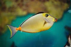 Schöne helle tropische Aquariumfische Ein bunter tropischer Fisch des Kaisers Stockfoto
