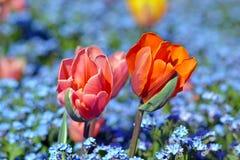 Schöne hellrosa und orange Tulpenblumen auf dem Gebiet von blauen Frühlingsblumen auf undeutlichem Hintergrund lizenzfreie stockbilder
