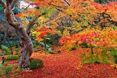 Schöne Herbstlandschaft des bunten Laubs der brennenden Ahornbäume und des roten Teppichs von gefallenen Blättern in einem Garten Stockfoto