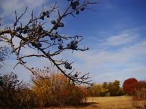 Schöne Herbstlandschaft mit Beeren auf den Niederlassungen von Dornen stockbild