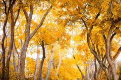 Schöne Herbstniederlassungen von Bäumen im Spätholz, Herbsthintergrund Stockfoto