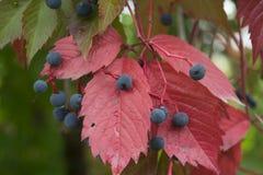 Schöne Herbstrotblätter Stockfotografie