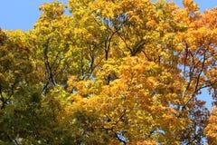 Schöne Herbstwipfel im blauen Himmel lizenzfreies stockbild