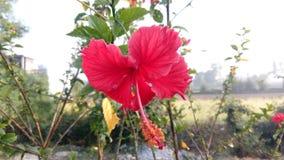 Schöne Hibiscus-Blume stockfotografie