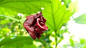 Schöne Hibiscusblume für Tapete Lizenzfreie Stockbilder