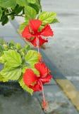 Schöne Hibiscusblumen Lizenzfreie Stockfotografie