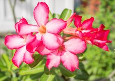 Schöne Hibiscusblumen im Park Lizenzfreies Stockfoto