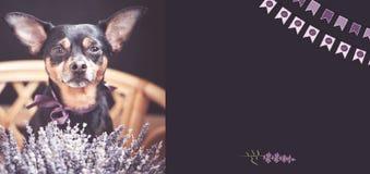 Sch?ne Hintergrundgrenze, -flieger, -postkarte mit Blumenlavendel und -welpe mit einem Blumenstrau? des Lavendels, Panorama, stockfoto