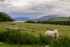 Schöne Hochländer von Schottland stockfoto
