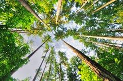 Schöne hohe Bäume von Oregon Stockfoto