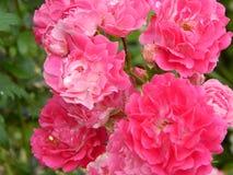 Schöne, hohe Gartenpflanze - spinnende rote Rose lizenzfreie stockbilder