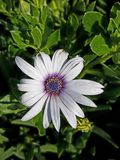 Schöne hohe nahe purpurrote und weiße Blume 4k Lizenzfreies Stockbild