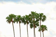 Schöne hohe Palmen stockbilder