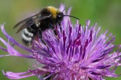 Schöne Hummel auf einer Blume, Kopf, Ohren, Beine schwärzen, Flügel- transparent, rauhaarige, Gelbe und weißestreifen auf der Dun lizenzfreie stockfotos