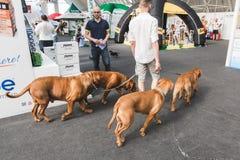 Schöne Hunde bei Quattrozampeinfiera in Mialn, Italien Stockbild
