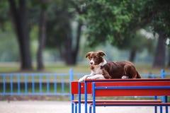 Schöne Hunderasse border collie, das auf dem Tisch liegt Lizenzfreie Stockfotografie