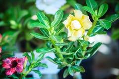 Schöne hybride Gelbschichten Adenium Obesum (Wüstenrose) fließen Lizenzfreie Stockbilder