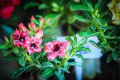 Schöne hybride purpurrote Schichten Adenium Obesum (Wüstenrose) fließen Stockbild