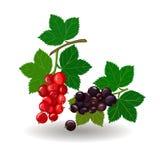 Schöne Illustrationszweige von den roten und Schwarzen Johannisbeeren lokalisiert auf weißem Hintergrund beeren Lizenzfreie Stockfotos