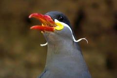 Schöne Inka-Seeschwalbe lizenzfreie stockbilder