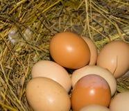 Schöne inländische Hühnereien in einem Nest Lizenzfreie Stockfotografie