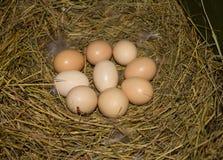 Schöne inländische Hühnereien in einem Nest Stockfotografie