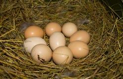 Schöne inländische Hühnereien in einem Nest Stockbilder
